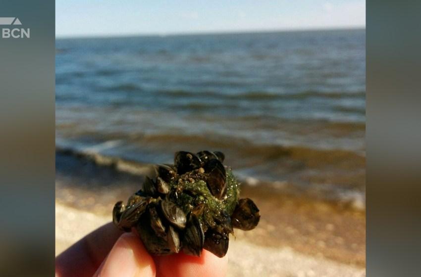 Zebra mussels threaten southern Alberta water