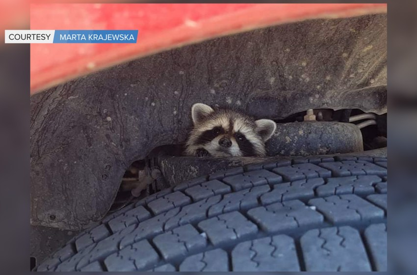 Taber Police rescue raccoon from unusual place