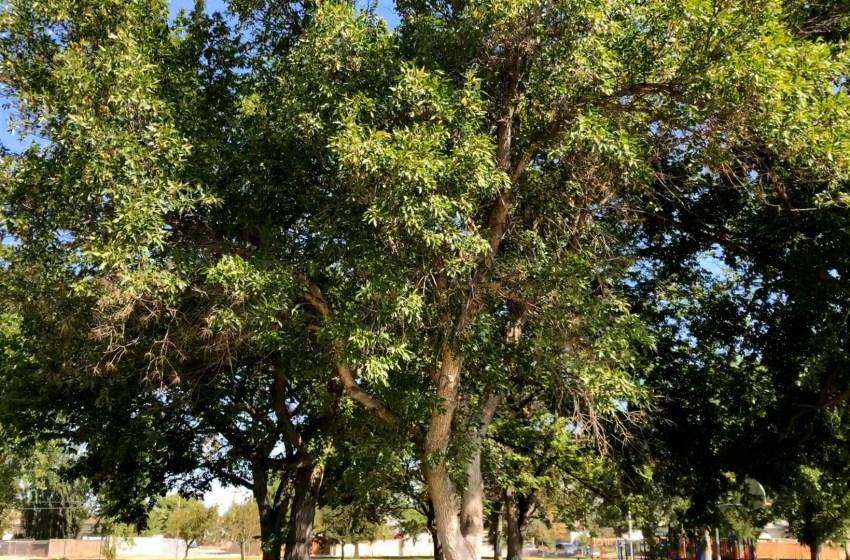 Keeping Lethbridge Dutch Elm-free