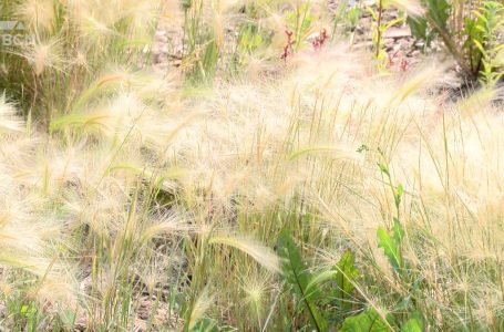 Foxtail weeds raise concerns from locals