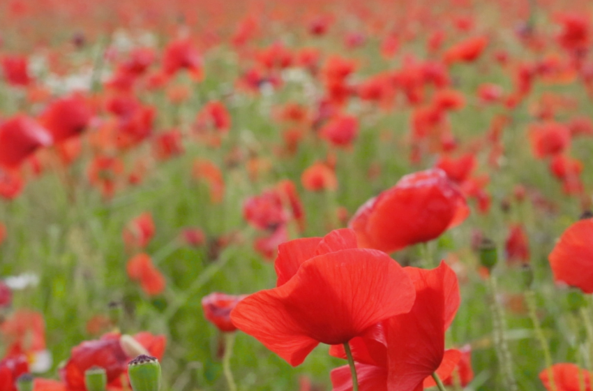 Honouring the memory of the poppy for centennial anniversary