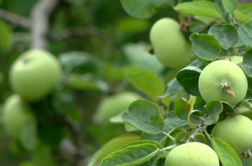 Interactive map displaying public fruit trees in Lethbridge, free for picking